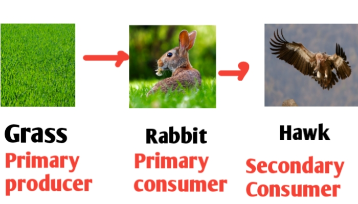 Food chain diagram for class 3