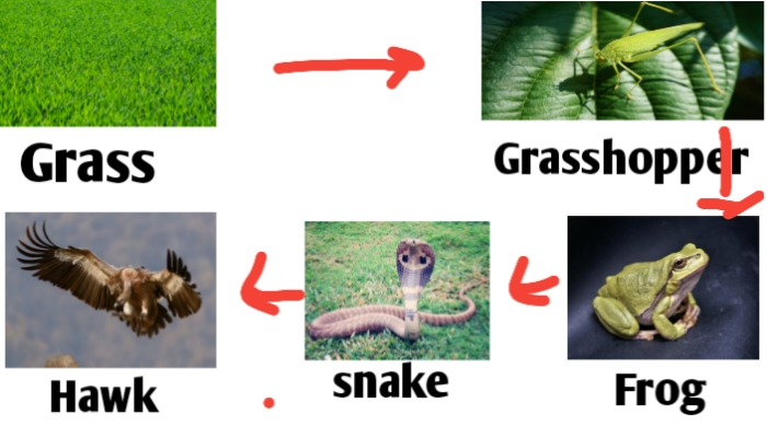 Food chain diagram for class 9
