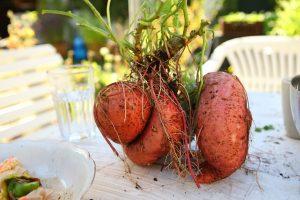 Vegetative propagation by roots in sweet potato