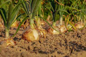 Bulb of onion