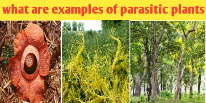 What are parasitic plants explain with an example