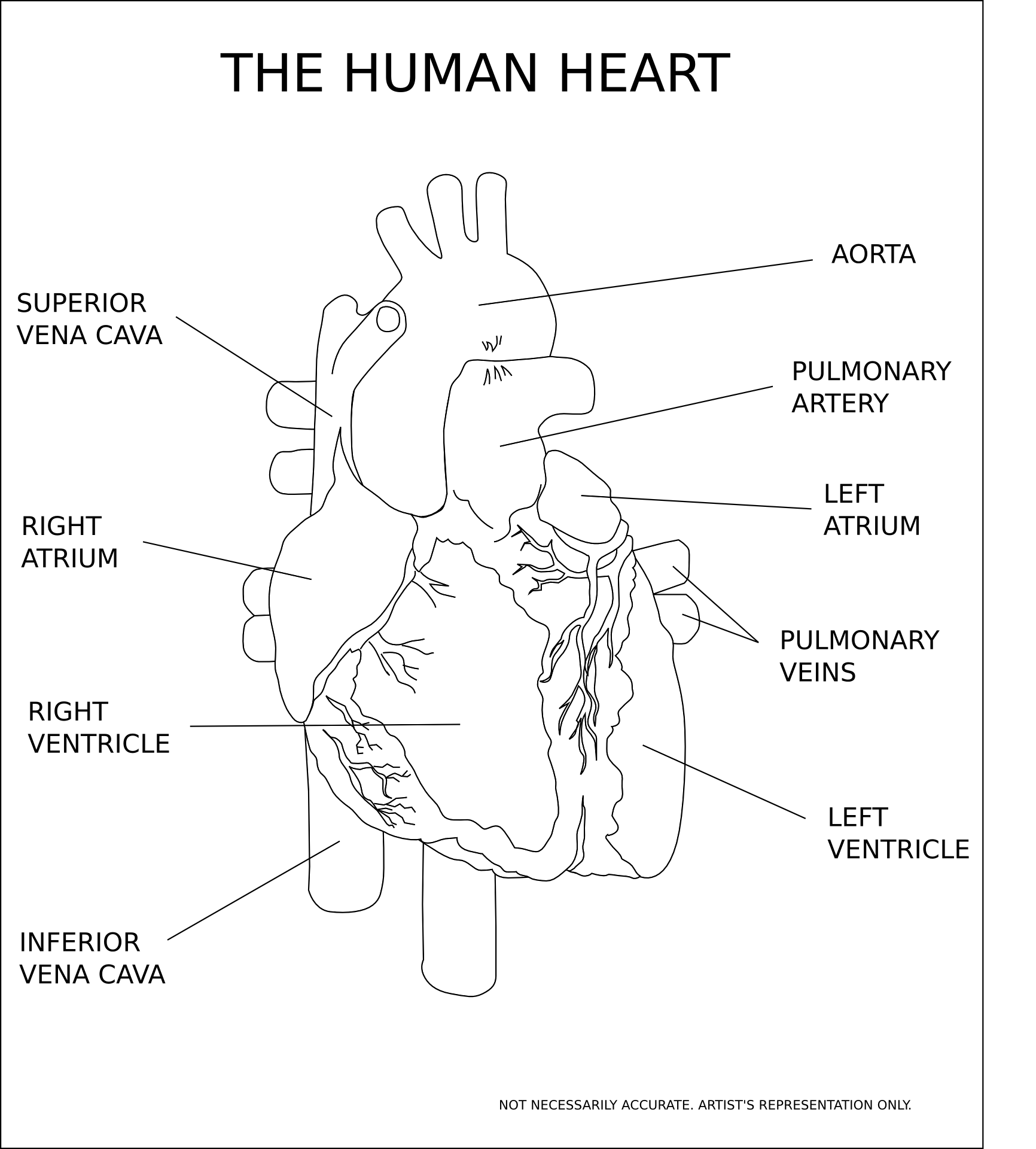 Human heart structure and anatomy