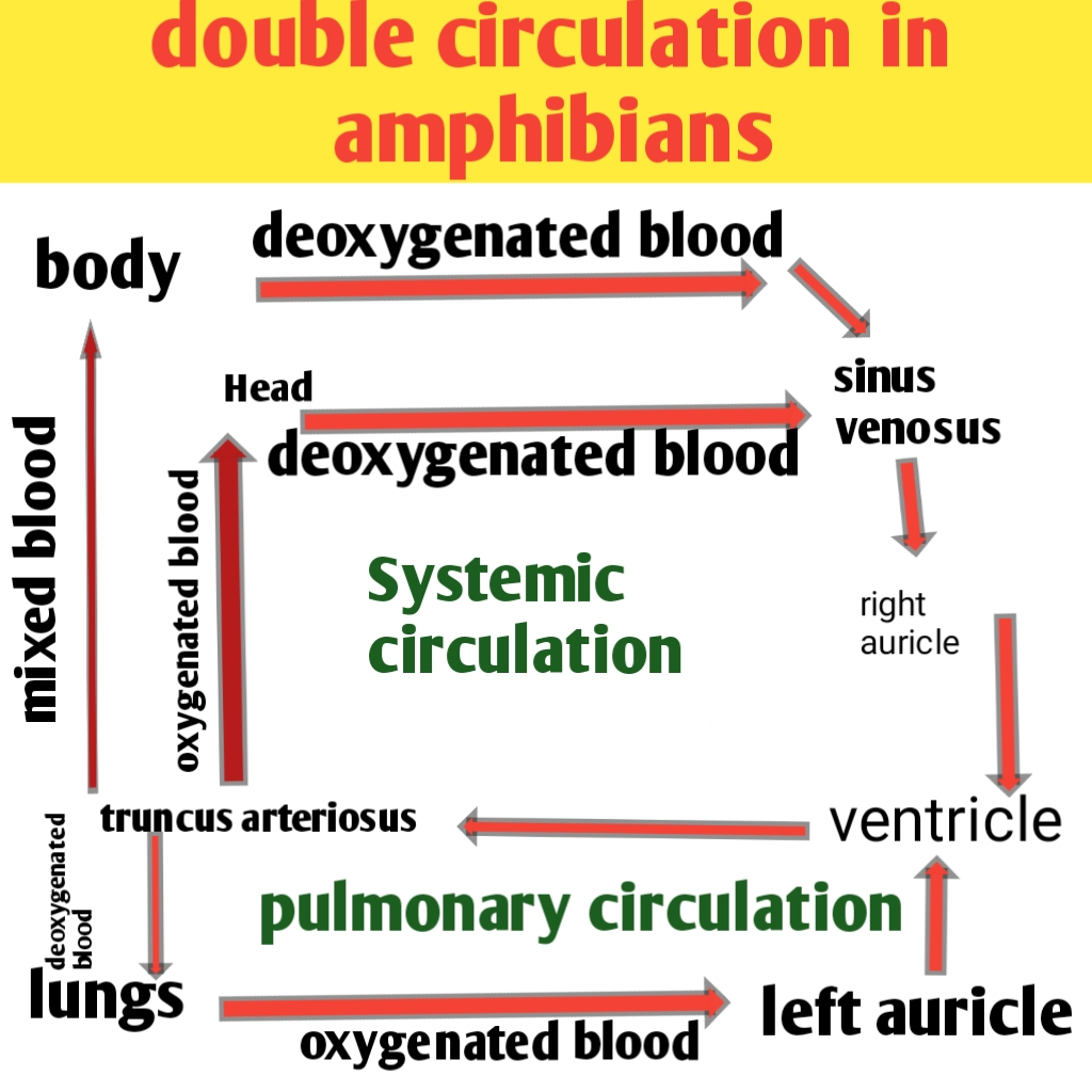 Amphibian heart and double type of circulation