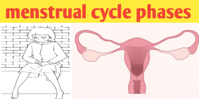 Menstrual cycle phases: menstruation,ovulation and hormones