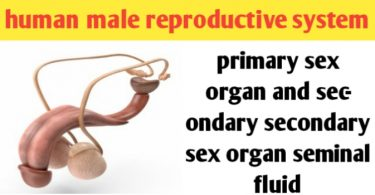 Male reproductive system: organs, diagram and function