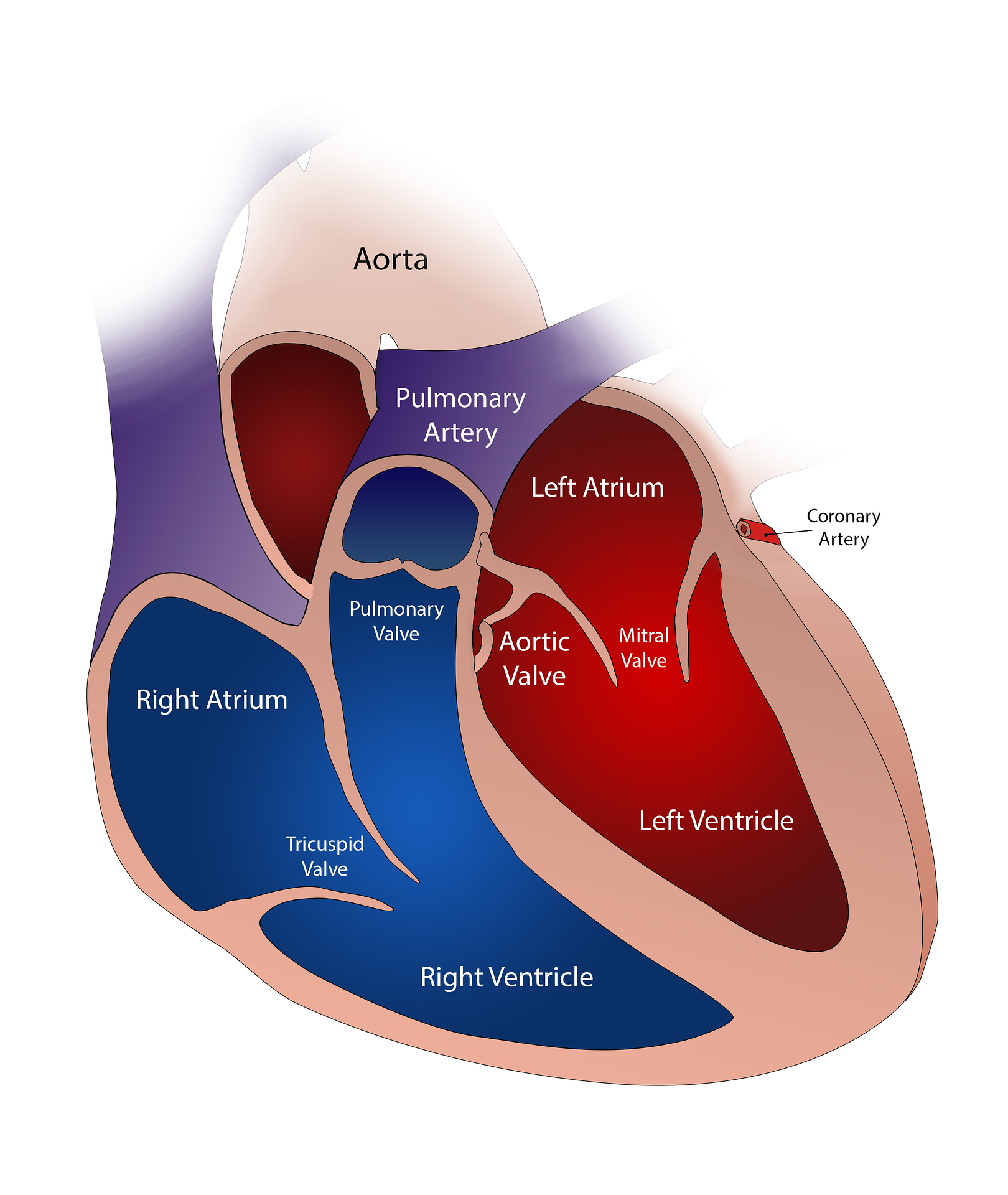 Human heart four chambered and anatomy