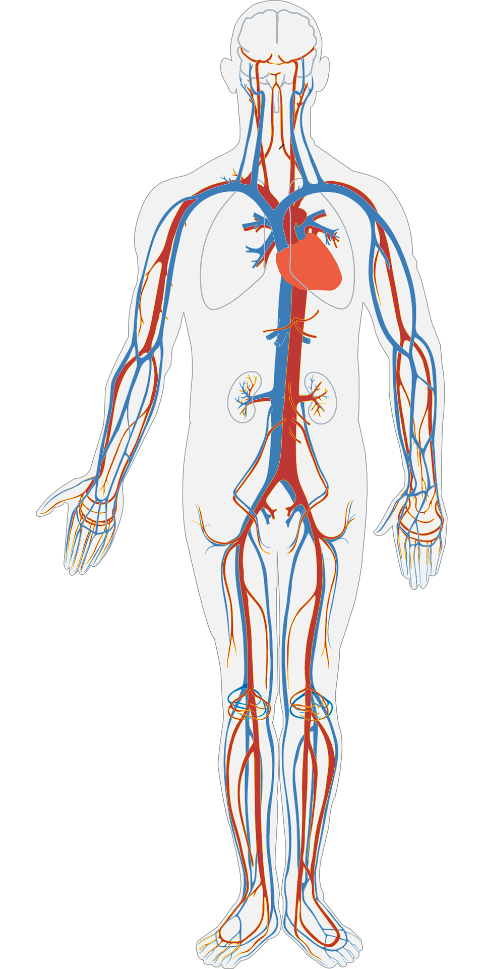 Where heart is located in human body ?