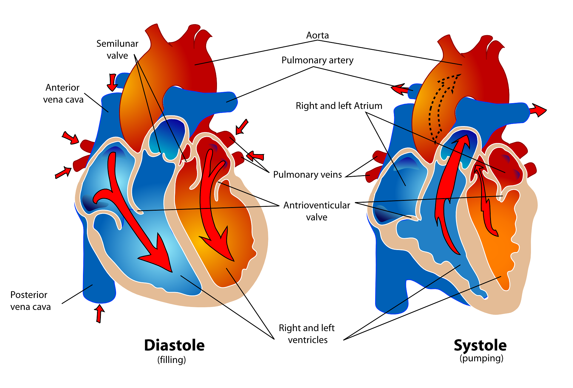 Cardiac cycle systole and diastole