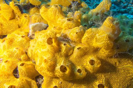A sponge is the sedentary animal