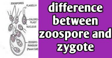 What are differences between Zoospore and Zygote
