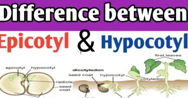 Epicotyl and hypocotyl in seed differences, function and definition