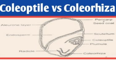 Coleoptile and coleorhiza difference, definition & function