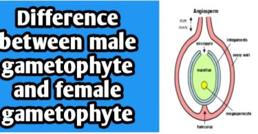 Differences between male gametophyte and female gametophyte