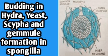 Budding in Hydra, Yeast and Spongilla with diagram