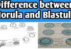 Difference between morula and blastula