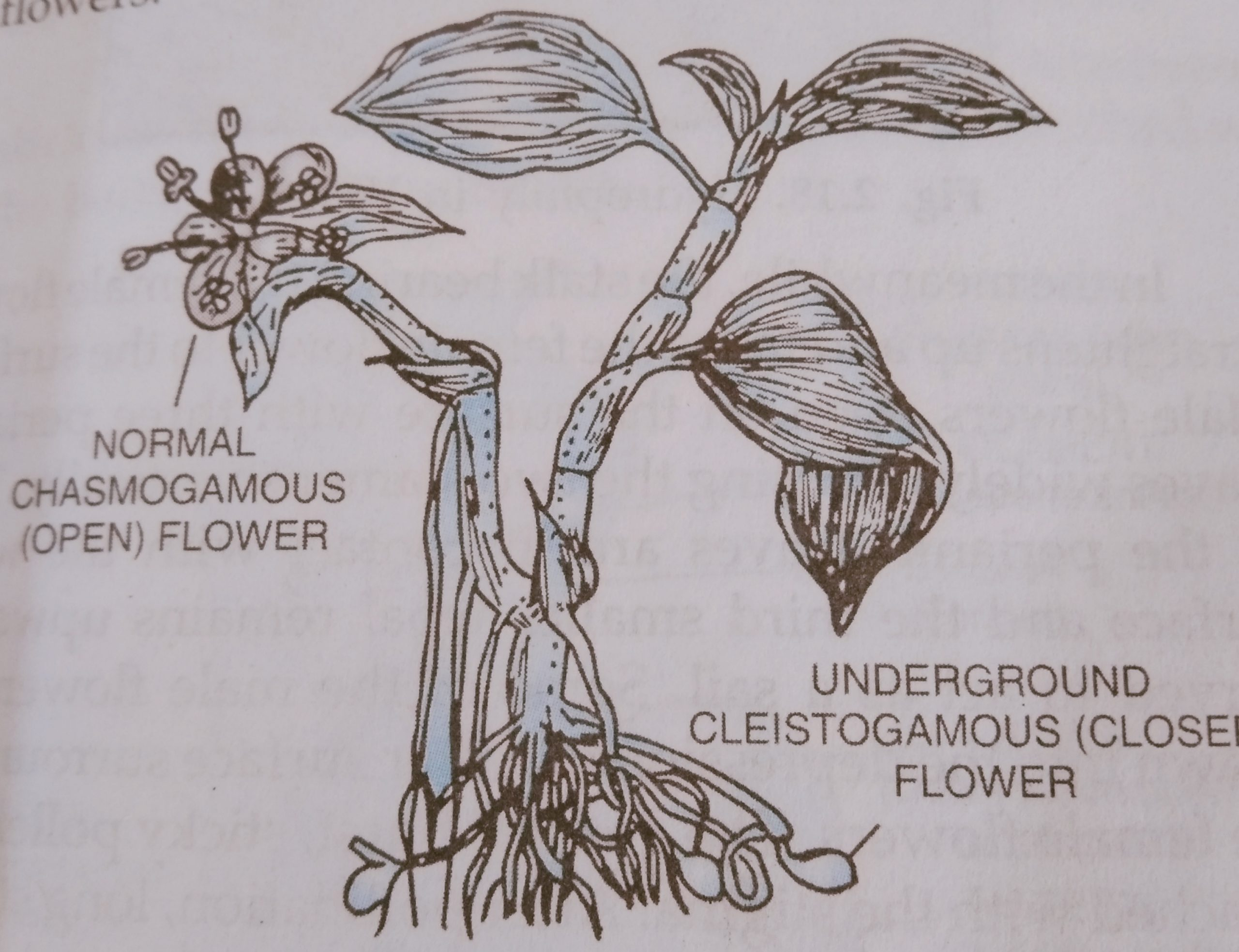 Cleistogamous and chasmogamous flower in commelina benghalensis