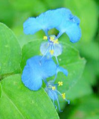 Cleistogamy pollination in Commelina benghalensis