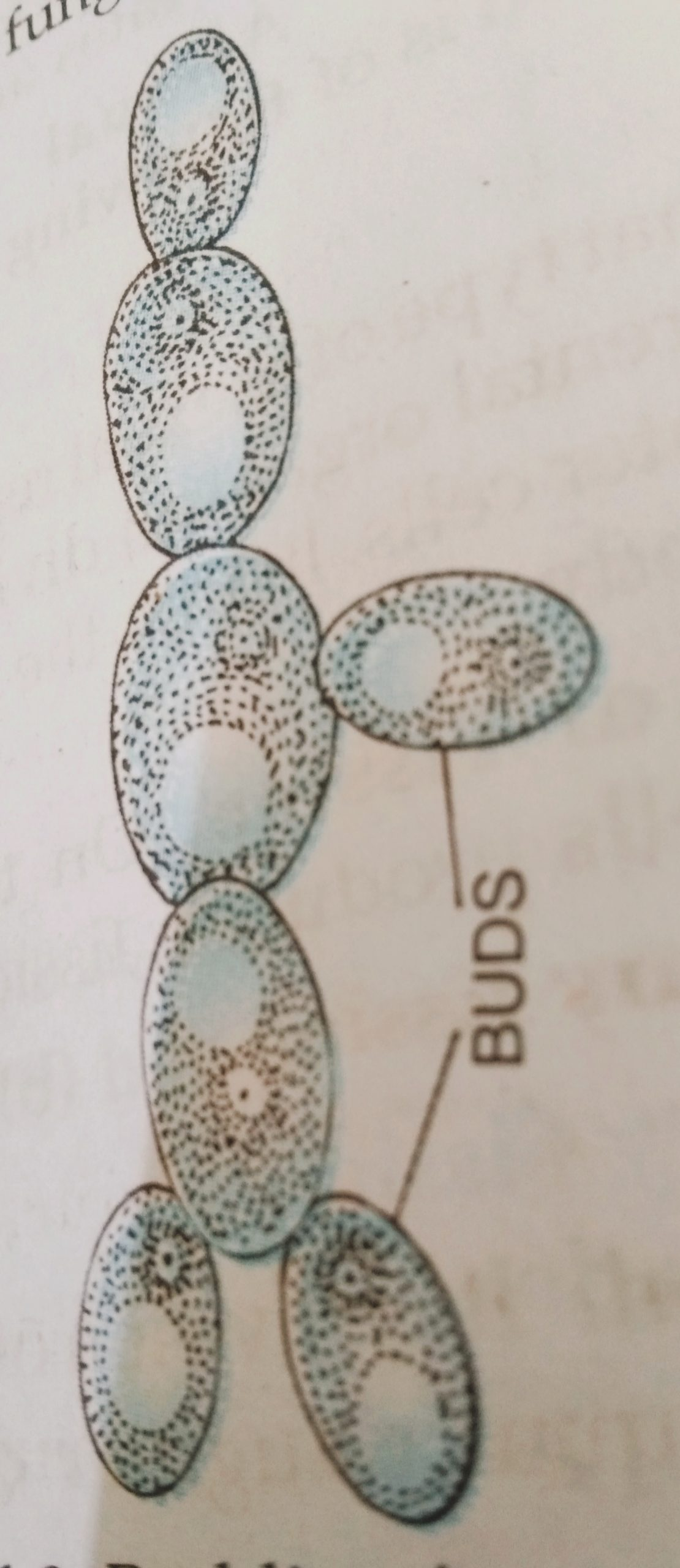 Budding in Yeast with diagram