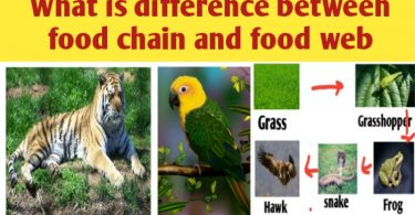What is difference between food chain and food web