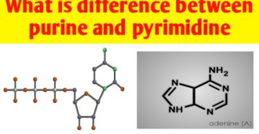 What is difference between purines and pyrimidines