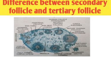 Difference between secondary follicle and tertiary follicle