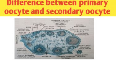 difference between primary oocyte and secondary oocyte