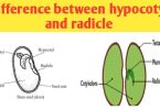 What is the difference between hypocotyl and radicle