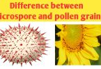 What is the difference between microspore pollen grain