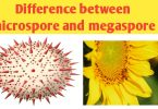 What is the difference between microspore and megaspore