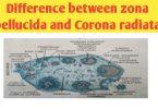 Difference between zona pellucida and corona radiata